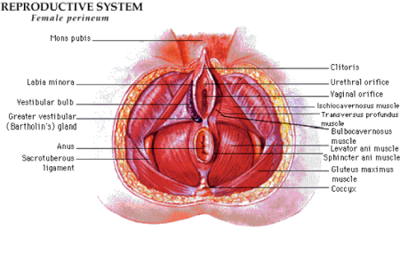 Anatomi Perineum